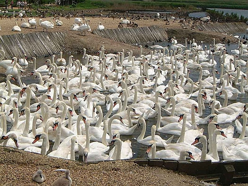 Hundreds of swans gather at a swannery