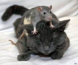 A rat rests on a sleeping cat's back showiing the triumph of love over fear