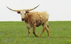 A texas longhorn stands in a field with its horns spread wide