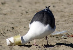 A gifted adult seagull stands on the beach with his head in a discarded cup.